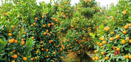 HƯớng dẫn trồng quất