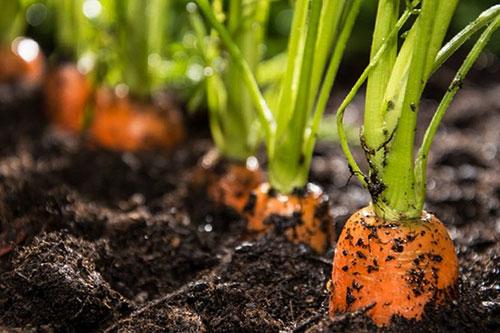 Chăm sóc cà rốt là một nghệ thuật