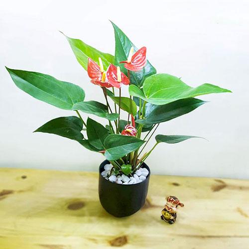 Cây Hồng Môn cảnh