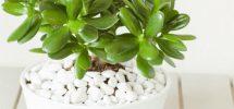 Cách trồng cây ngọc bích
