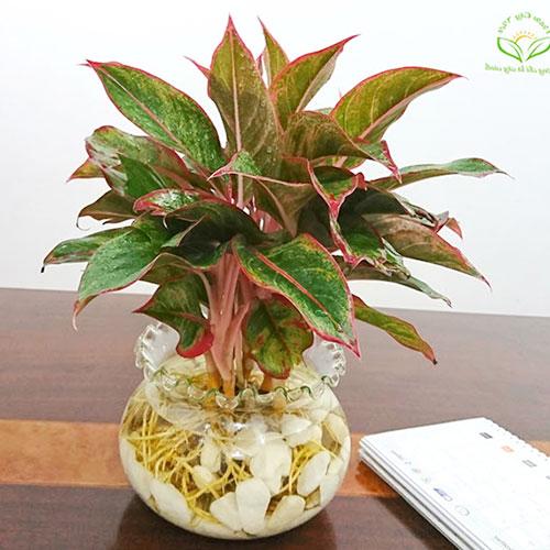 Chăm sóc cây phú quý tại nhà