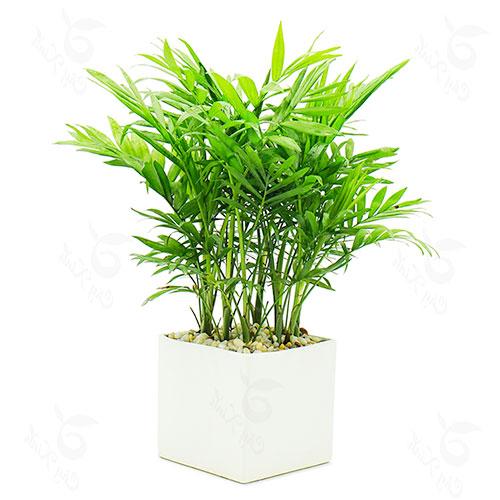 Kỹ thuật trồng cau tiểu trâm