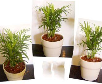 Kỹ thuật trồng cây dừa cảnh văn phòng