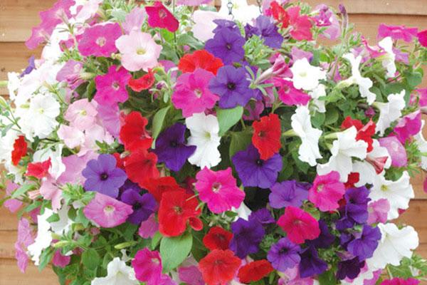 Dạ yến thảo – hướng dẫn trồng, chăm sóc cho hoa nở đẹp