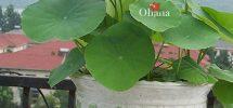 Ý nghĩa phong thủy của cây sen Nhật