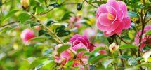 Phương pháp điều chỉnh hoa trà ra đúng dịp Tết
