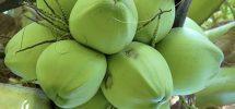 Kỹ thuật trồng dừa xiêm lùn