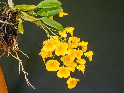 Kỹ thuật trồng lan vảy rồng