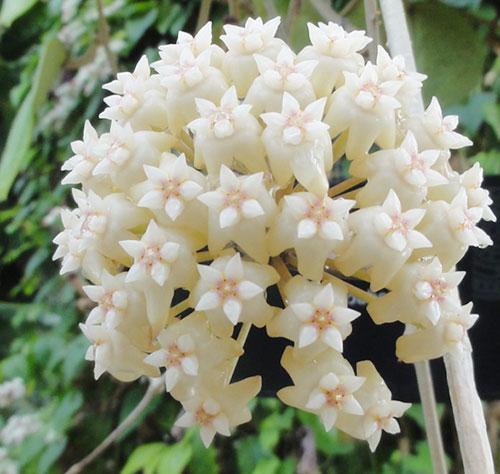 Hướng dẫn trồng lan cẩm cù