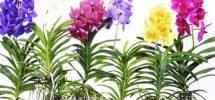 Kỹ thuật trồng lan vanda