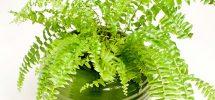 Kỹ thuật trồng cây dương xỉ