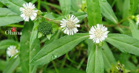 29+ tác dụng của cây Cỏ Mực – cách dùng cỏ mực hiệu quả