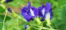 Hình dáng cây hoa đậu biếc