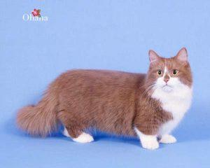 nuôi mèo munchkin