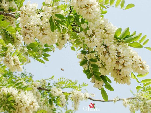 Hoa hòe có tác dụng gì?