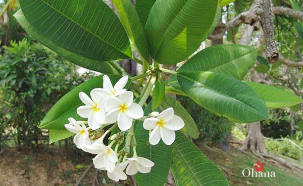 Tìm hiểu về cây hoa sứ trắng
