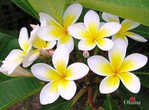 Hoa sứ trắng