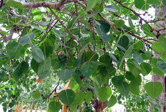 Dùng cây bồ đề trị bệnh như thế nào?