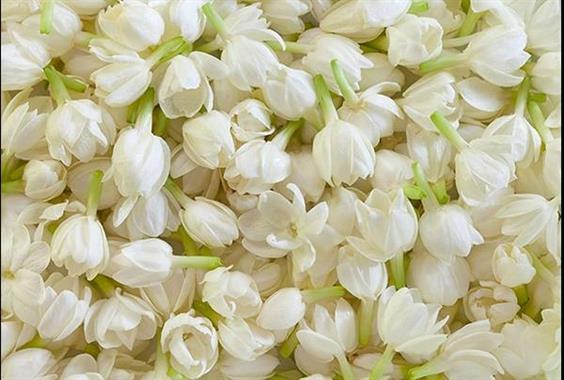 Sử dụng hoa nhài trị bệnh
