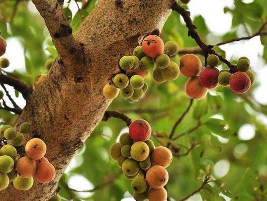 Tác dụng của cây sung đổi với sức khỏe