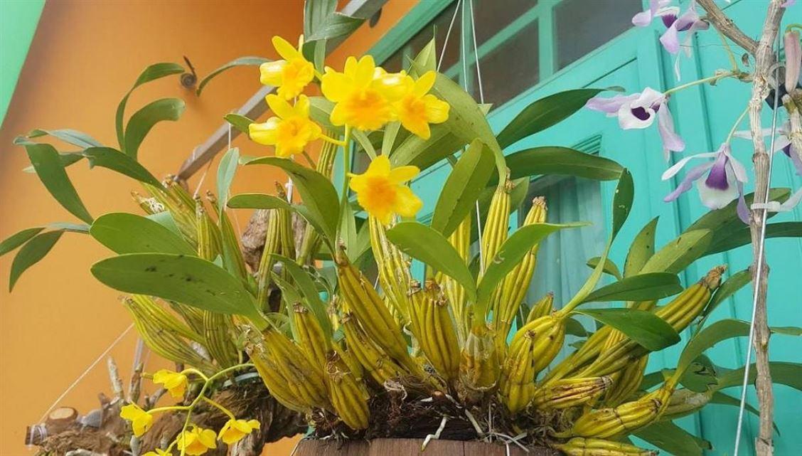 Trồng và chăm sóc lan hoàng lạp cho hoa tươi thắm, rực rỡ