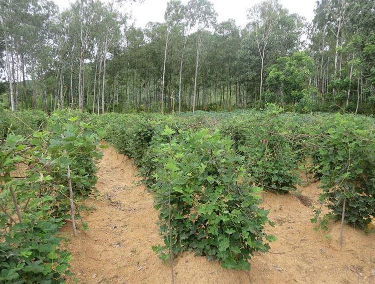 Kỹ thuật trồng sắn dây cho củ lớn – nhanh thu hoạch