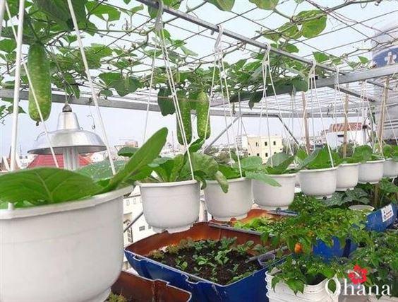 Kỹ thuật trồng bầu trong thùng xốp – trái lớn, nhanh thu hoạch